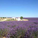 In the lavander fields…